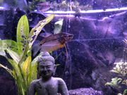 Mosaikfadenfische Pärchen
