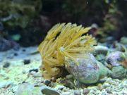 Koralle Anthelia Ableger Straußenhaar Meerwasser