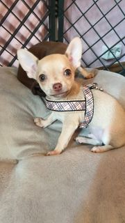 Chihuahuas mit Ahnentafel