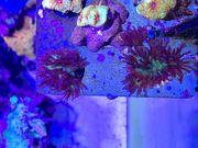Goniopora Galaxy - LPS Korallen Meerwasser