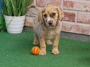 Australian Shepherd x Beagle suchen