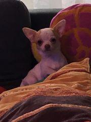 Kurzhaar Chihuahua Mädchen sucht zuhause