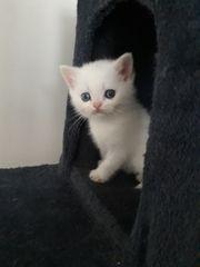 BKH Reinrassige Kätzchen blaue Augen