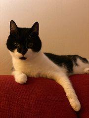 Katze Kater wunderschöne Hauskatze sucht