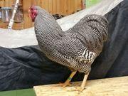 Zwerg Wyandotten weiß gestreift Hühner
