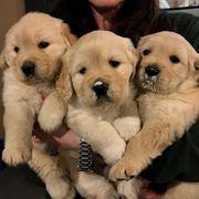 Reinrassiger Welpe des goldenen Apportierhunds