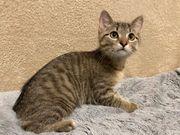Babykatzen Kater