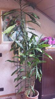 Yukka Pflanze hoch gewachsen