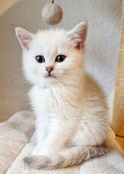 Süße Reinrassige BKH Kitten mit