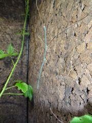 Ramulus nematodes blue
