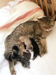 BKH Kätzchen ich verkaufe