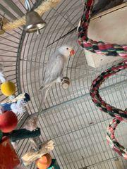 Papagei Halsbandsittich paar