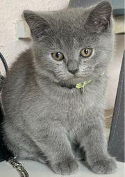 Shottisch Fold British Kurzhaar Kitten