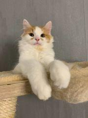 Sibirischer Waldkater Mix Katze