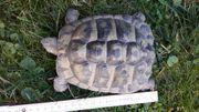 2 x männliche Griechische Landschildkröte