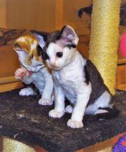 Devon Rex Kitten Agent sucht