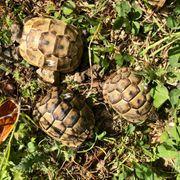 Maurische Landschildkröten TGI - Testudo graeca