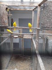 Gelbe Springsittichzuchthenne