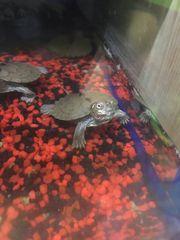 Schildkröte 1 Stück 45 1