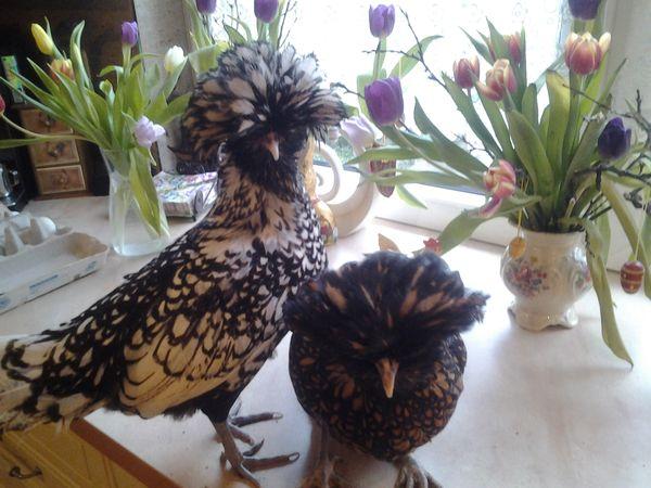 Paduaner haubenhühner