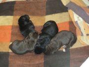 1 Mischlingswelpe Labrador-Dobermann DeutschDrahthaar