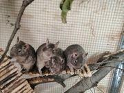 Vier Degu Jungs mit Wohnung