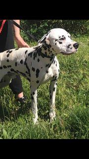 Nayeko lieber Dalmatiner sucht sein