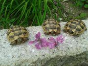 Testudo graeca - Maurische Landschildkröten von