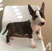 Miniatur Bull terrier Welpen Zag