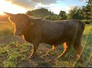 schottisches Hochlandrind Jungbulle highland cattle