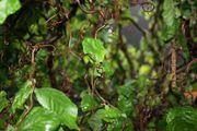 Haselnuss Korkenhaselzieher Äste Zweige aus