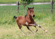Stutfohlen - Pinto Pony - Braunschecke - Stute -