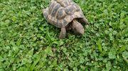 2 griechische Schildkröten beide männlich