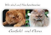 BKH und BLH Katzenbabys gibt