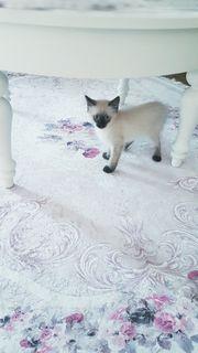 Verschmuste Heilige Birma Kitten