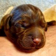 Labrador Welpen aus Familienaufzucht