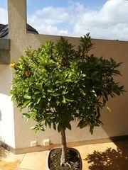 Kumquatbaum mit Früchten