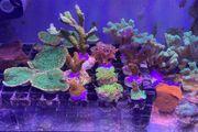 Meerwasser Korallen Diverse Ableger ab