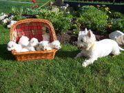 West-Highland White Terrier Welpen