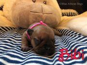 Französische Bulldogge Welpen 2 Mädchen