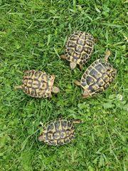 Griechische Landschildkröten Thh Weibchen NZ
