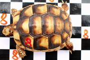 Testudo marginata Breitrandschildkröten