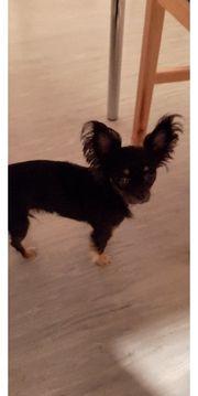 Chihuahua Mädchen 1 Jahr alt