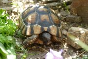 WEIBLICH - adult Breitrandschildkröte 10 J