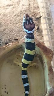 Leopardgeckos aus eigener Nachzucht Eublepharis