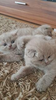 BKH Kitten und Scottischfold