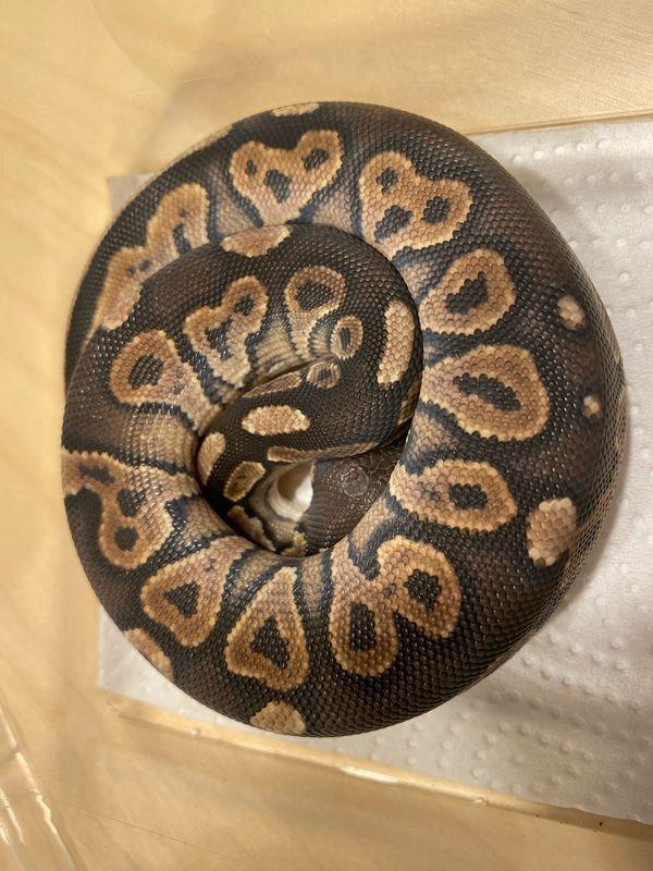0. 1 cinnamon ENZ 20 königspython Python regius