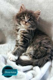 6 wunderschöne Maine Coon kitten