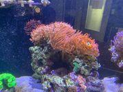 Kupferanemone 20-25cm