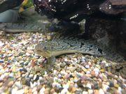 polypterus zaire 3 Stück